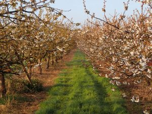 Blossom in the orchards