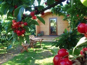 cherries around the Sunburst Orchard Pod, glamping in Kent