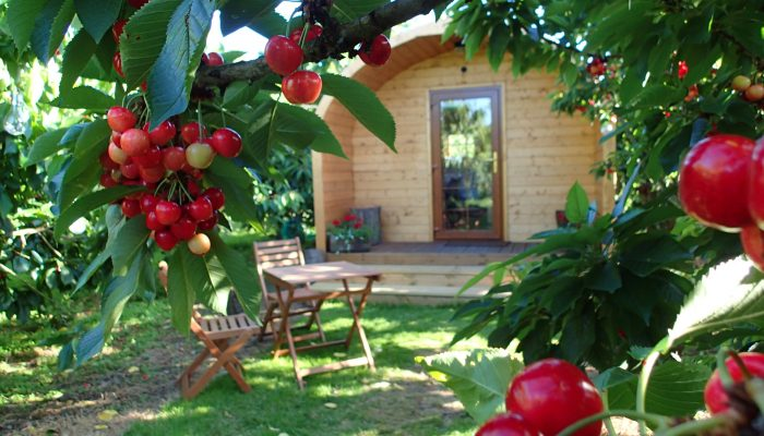 cherries around the Sunburst Orchard Pod, glamping in Kent