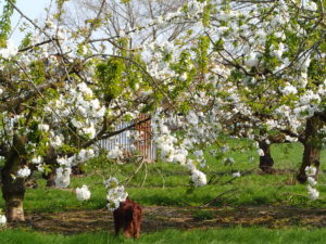 Blossom-at-orchard-pods