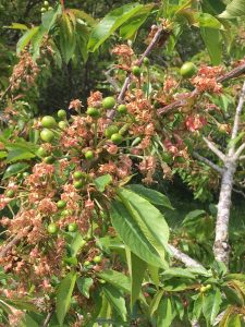 Cherries-forming-at-orchard-pods-glamping-kent