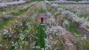 Orchard pods in blossom