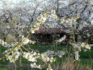 blossom around hop pickers huts
